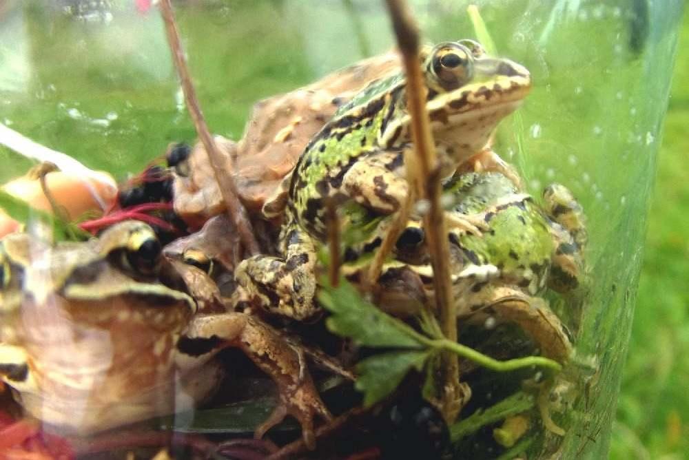 żaby na łące