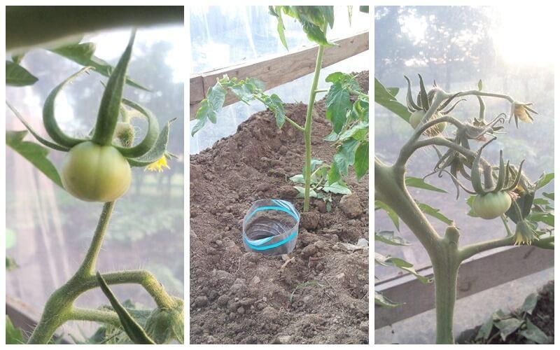 Podlewanie butelkowe pomidorów